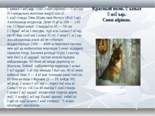Красный волк. Қызыл қасқыр. Cuon alpinus. Қызыл қасқыр- (лат.Cuon alpinus)