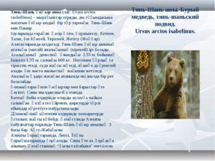 Тянь-Шань аюы. Бурый медведь, тянь-шаньский подвид. Ursus arctos isabelinus.