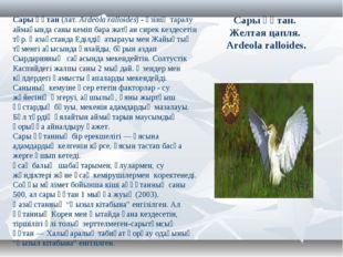 Сары құтан. Желтая цапля. Ardeola ralloides. Сары құтан(лат.Ardeola ralloid
