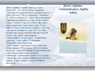 Дала қыраны. Снежный орел. Aguila rahax. Дала қыраны,қыранқара (лат.Aquila