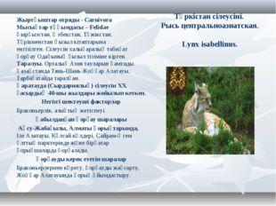 Түркістан сілеусіні. Рысь центральноазиатская. Lynx isabellinus. Жыртқыштар о