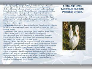 Бұйра бірқазан. Кудрявый пеликан. Pelecanus сгіsриs. Бұйра бірқазан. (Pelecan