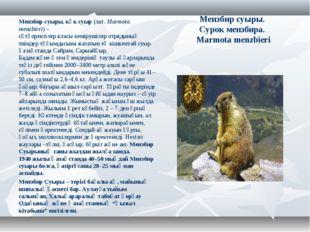 Мензбир суыры. Сурок мензбира. Marmota menzbieri Мензбир суыры,көк суыр(лат