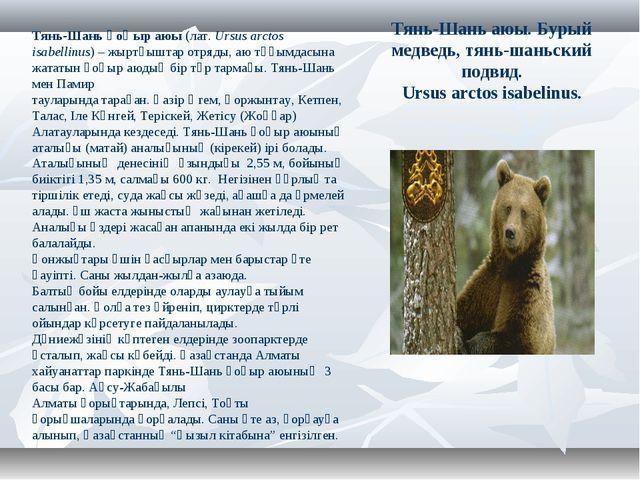 Тянь-Шань аюы. Бурый медведь, тянь-шаньский подвид. Ursus arctos isabelinus....