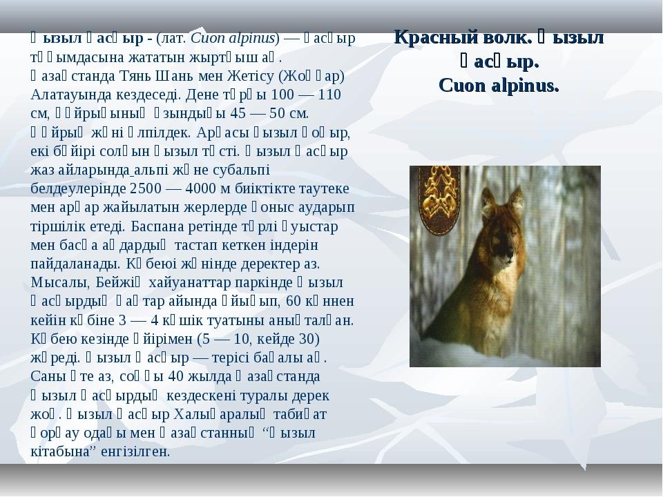 Красный волк. Қызыл қасқыр. Cuon alpinus. Қызыл қасқыр- (лат.Cuon alpinus)...
