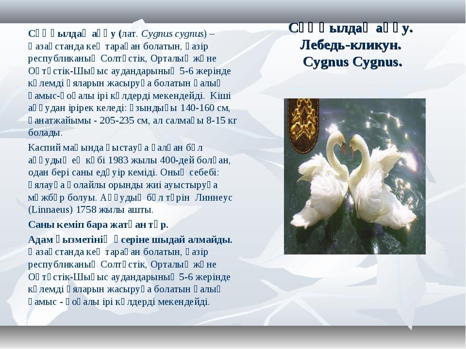 Сұңқылдақ аққу. Лебедь-кликун. Cygnus Cygnus. Сұңқылдақ аққу (лат.Cygnus cyg...
