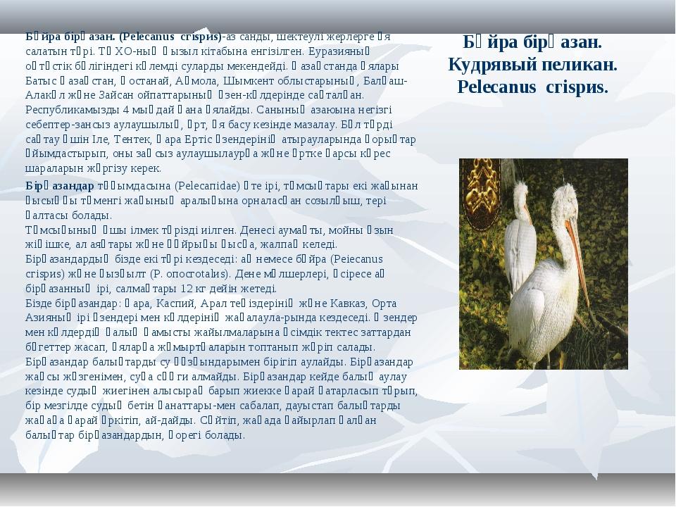 Бұйра бірқазан. Кудрявый пеликан. Pelecanus сгіsриs. Бұйра бірқазан. (Pelecan...