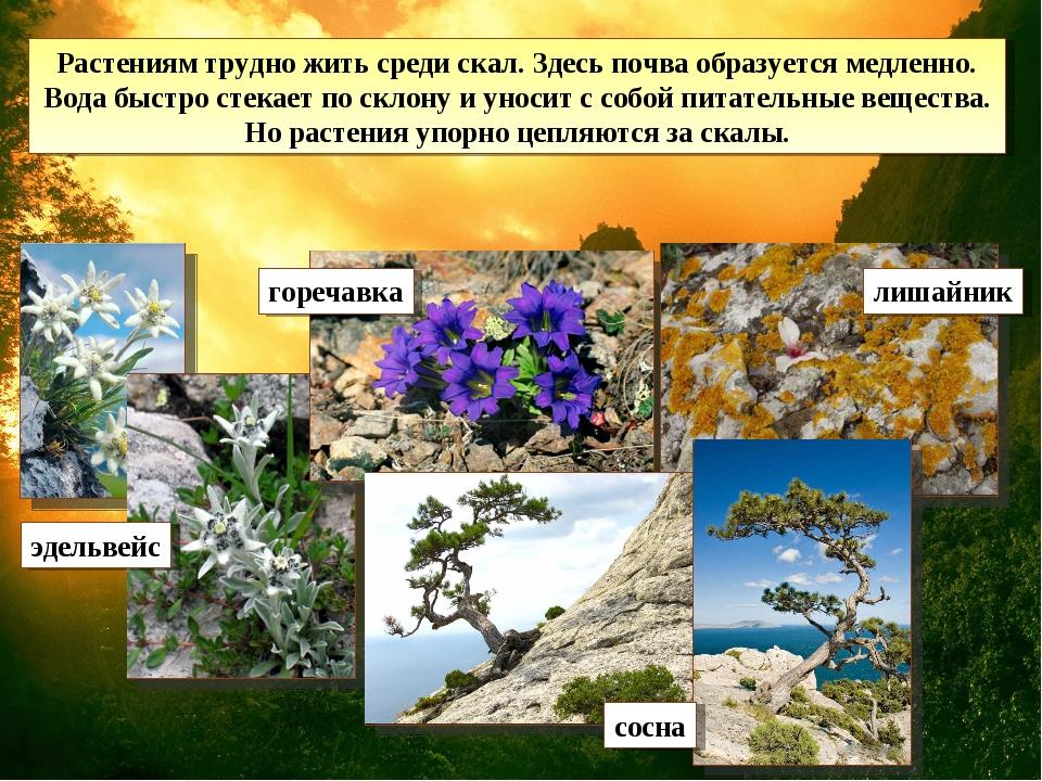 Растениям трудно жить среди скал. Здесь почва образуется медленно. Вода быстр...