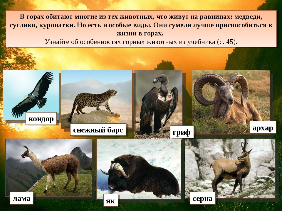 В горах обитают многие из тех животных, что живут на равнинах: медведи, сусли...