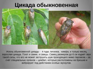 Цикада обыкновенная Жизнь обыкновенной цикады - 4 года: личинка, нимфа, и тол