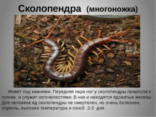 Сколопендра (многоножка) Живет под камнями. Передняя пара ног у сколопендры п
