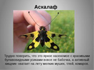 Аскалаф Трудно поверить, что это яркое насекомое с красивыми булавовидными ус
