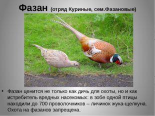 Фазан (отряд Куриные, сем.Фазановые) Фазан ценится не только как дичь для охо