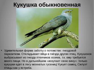 Кукушка обыкновенная Удивительная форма заботы о потомстве: гнездовой паразит