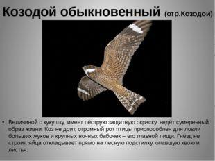 Козодой обыкновенный (отр.Козодои) Величиной с кукушку, имеет пёструю защитну