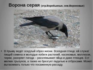 Ворона серая (отр.Воробьиные, сем.Вороновые) В Крыму ведёт оседлый образ жизн