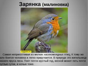 Зарянка (малиновка) Самая неприхотливая из мелких насекомоядных птиц. К тому