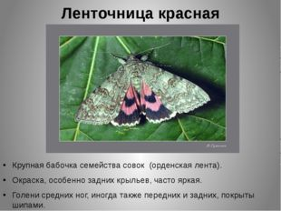 Ленточница красная Крупная бабочка семейства совок (орденская лента). Окраска