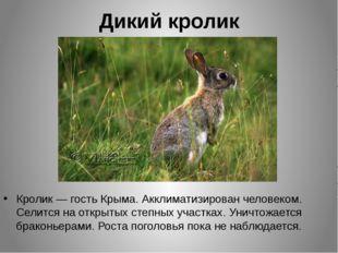 Дикий кролик Кролик — гость Крыма. Акклиматизирован человеком. Селится на отк