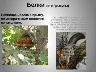 Белки (отр.Грызуны) Появилась белка в Крыму, по историческим понятиям, не так