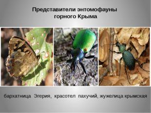 Представители энтомофауны горного Крыма бархатница Эгерия, красотел пахучий,