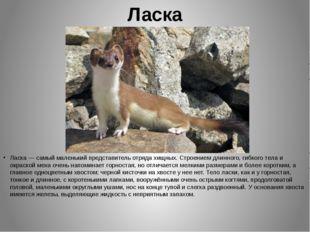 Ласка Ласка — самый маленький представитель отряда хищных. Строением длинного