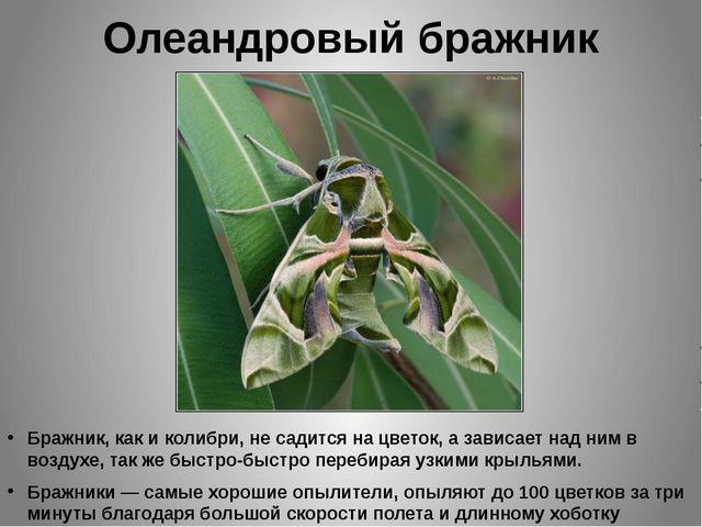 Олеандровый бражник Бражник, как и колибри, не садится на цветок, а зависает...