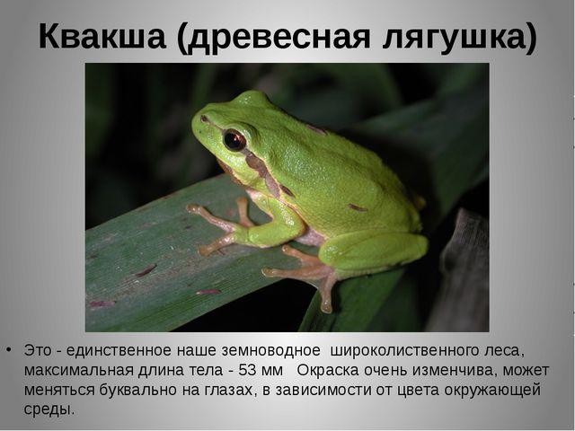Квакша (древесная лягушка) Это - единственное наше земноводное широколиственн...
