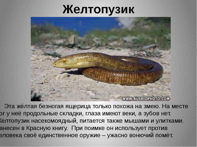 Желтопузик Эта жёлтая безногая ящерица только похожа на змею. На месте ног у...
