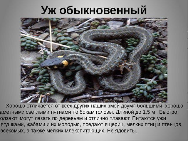 Уж обыкновенный Хорошо отличается от всех других наших змей двумя большими, х...