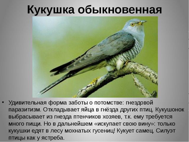 Кукушка обыкновенная Удивительная форма заботы о потомстве: гнездовой паразит...