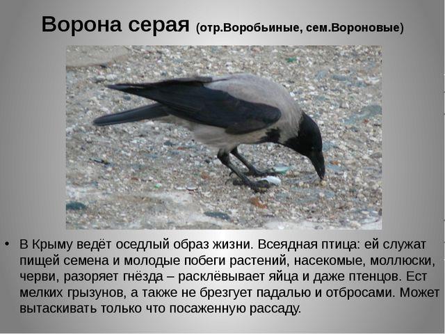 Ворона серая (отр.Воробьиные, сем.Вороновые) В Крыму ведёт оседлый образ жизн...