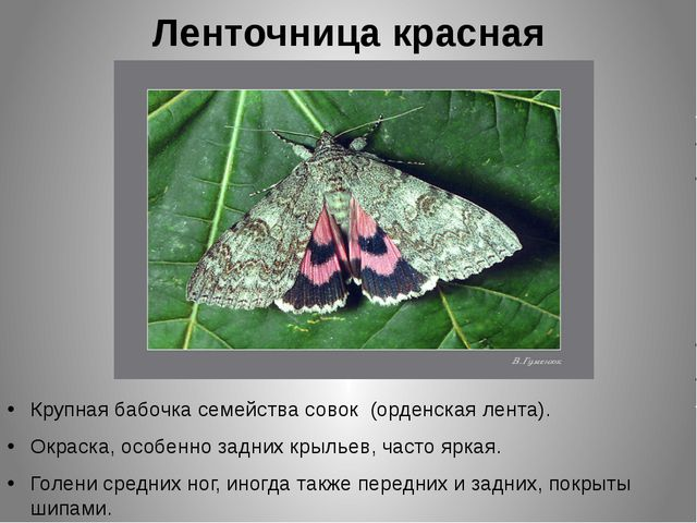 Ленточница красная Крупная бабочка семейства совок (орденская лента). Окраска...