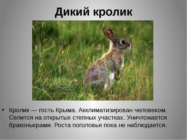 Дикий кролик Кролик — гость Крыма. Акклиматизирован человеком. Селится на отк...