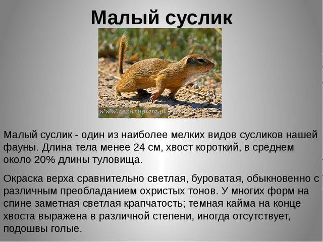 Малый суслик Малый суслик - один из наиболее мелких видов сусликов нашей фаун...