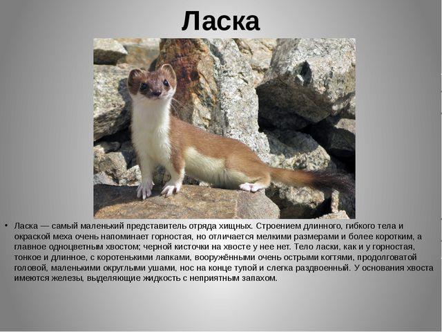 Ласка Ласка — самый маленький представитель отряда хищных. Строением длинного...