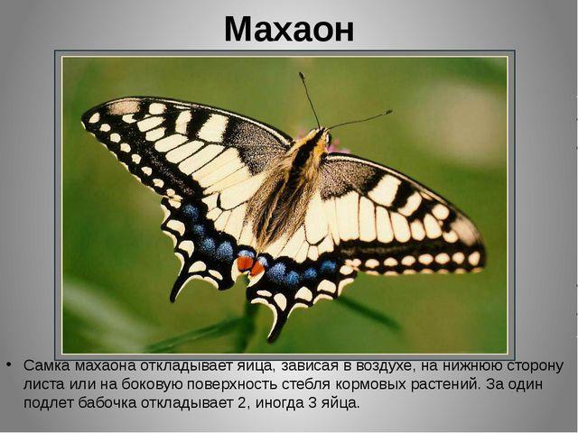 Махаон Самка махаона откладывает яйца, зависая в воздухе, на нижнюю сторону л...
