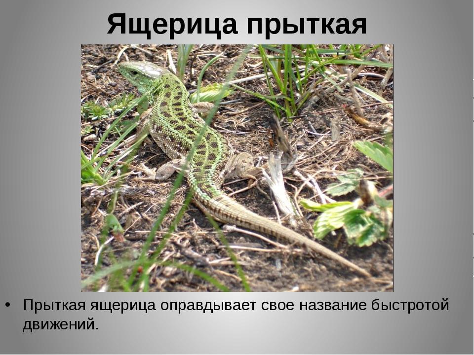 Ящерица прыткая Прыткая ящерица оправдывает свое название быстротой движений.