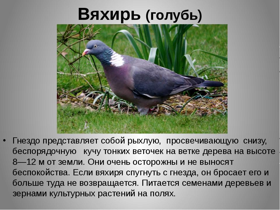 Вяхирь (голубь) Гнездо представляет собой рыхлую, просвечивающую снизу, беспо...