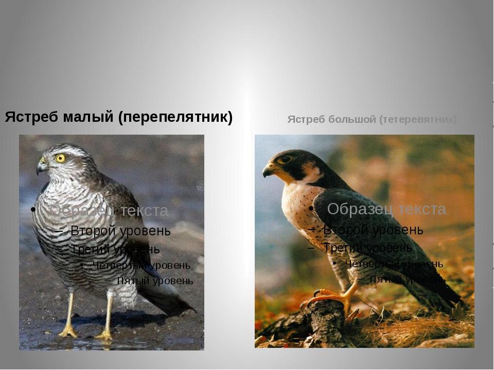 Ястребы в полёте их можно узнать по коротким округлым крыльям и длинному хвос...