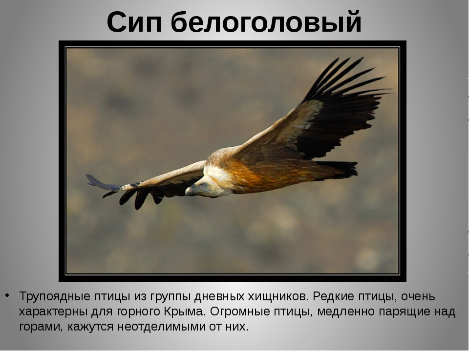Сип белоголовый Трупоядные птицы из группы дневных хищников. Редкие птицы, оч...
