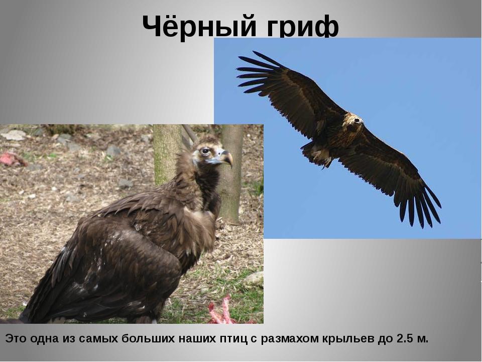 Чёрный гриф Это одна из самых больших наших птиц с размахом крыльев до 2.5 м.
