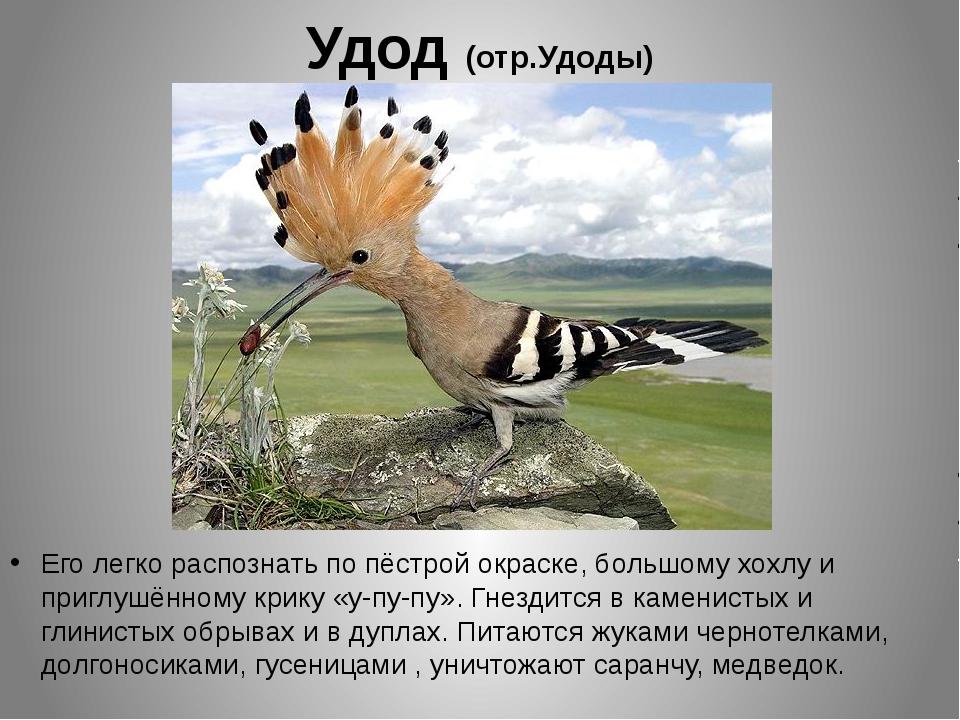 Удод (отр.Удоды) Его легко распознать по пёстрой окраске, большому хохлу и пр...