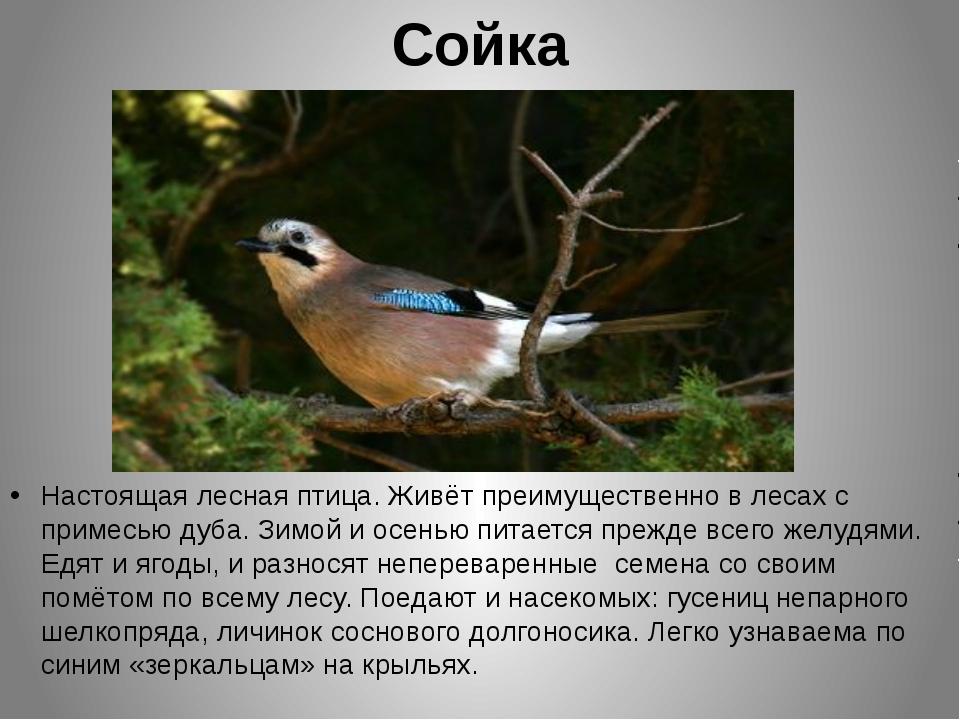 Сойка Настоящая лесная птица. Живёт преимущественно в лесах с примесью дуба....