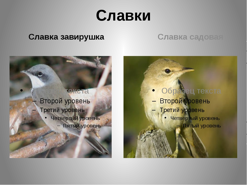 Славки Славка завирушка Славка садовая