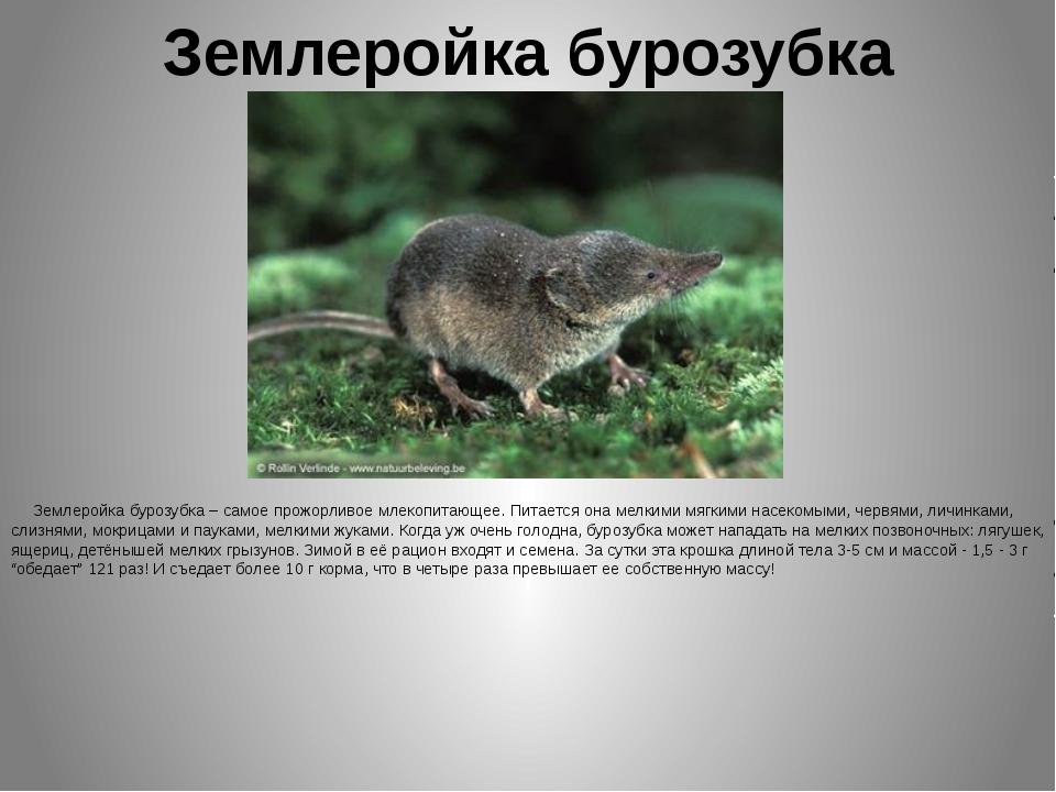 Землеройка бурозубка Землеройка бурозубка – самое прожорливое млекопитающее....