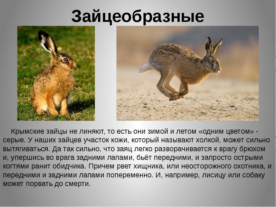 Зайцеобразные Крымские зайцы не линяют, то есть они зимой и летом «одним цвет...