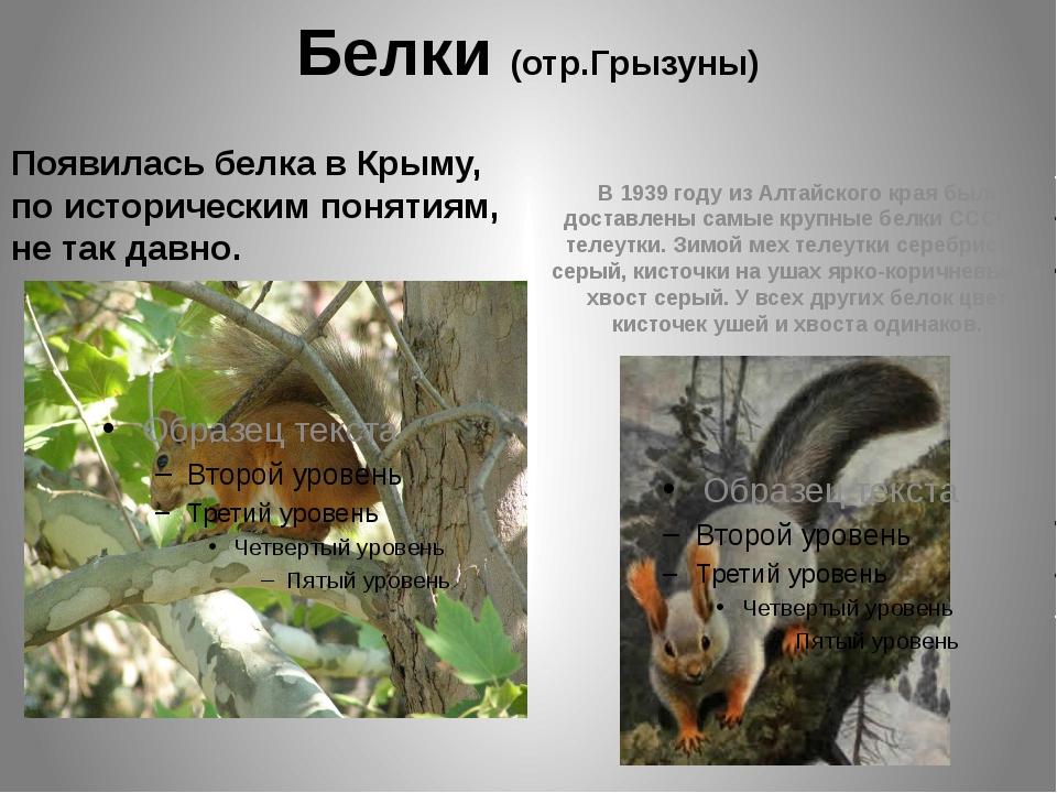 Белки (отр.Грызуны) Появилась белка в Крыму, по историческим понятиям, не так...