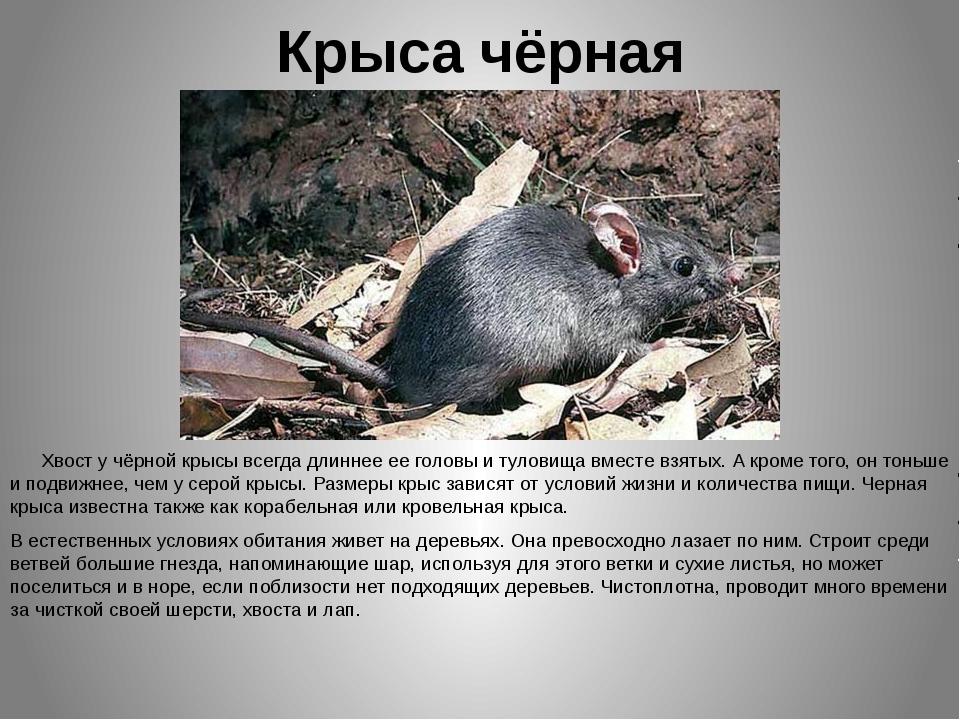 Крыса чёрная Хвост у чёрной крысы всегда длиннее ее головы и туловища вместе...