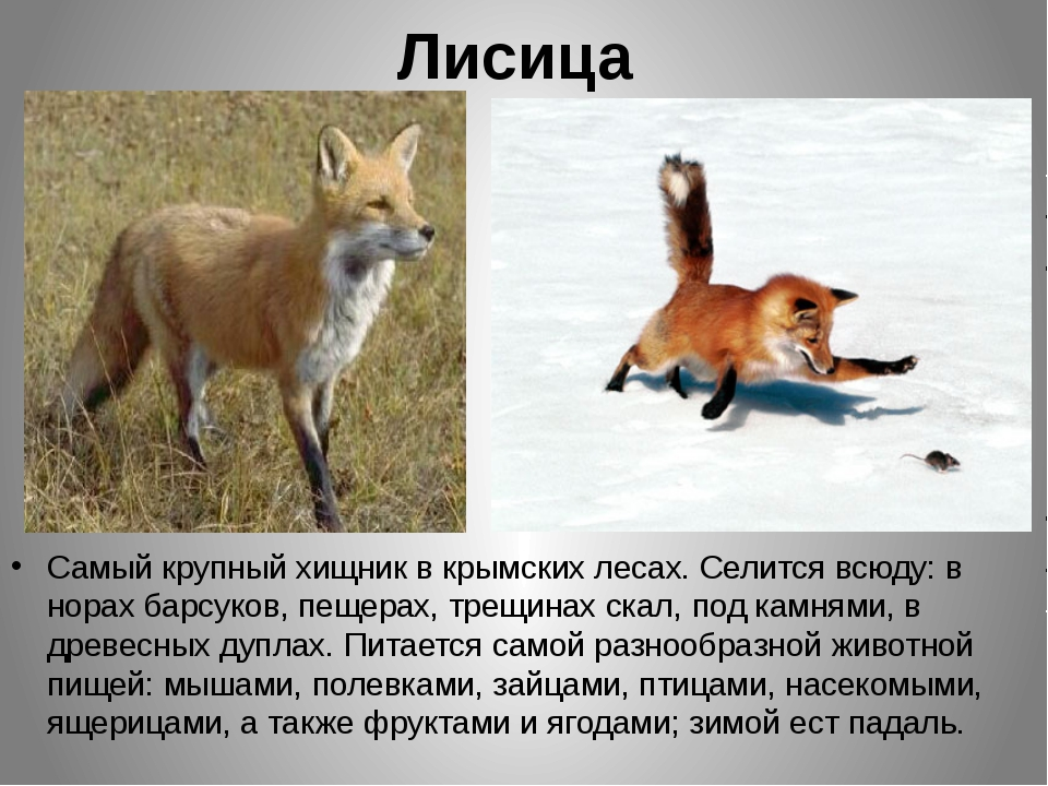 Лисица Самый крупный хищник в крымских лесах. Селится всюду: в норах барсуков...